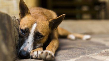 Vlaams Belang dient resolutie in tegen dierenleed