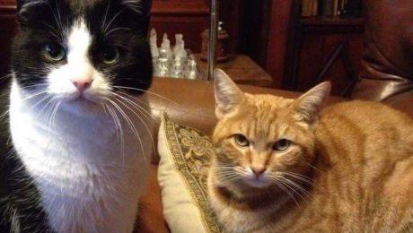 Vlaams Belang steunt GAIA in eis om btw op kattensterilisatie te verlagen