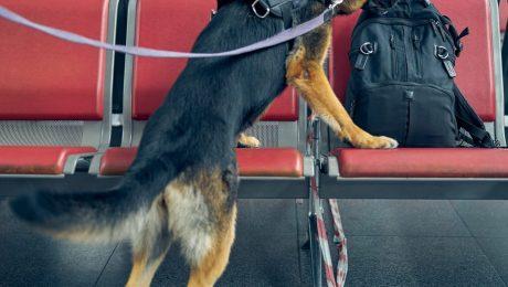 Politie blijft kampen met ernstig tekort aan drugshonden