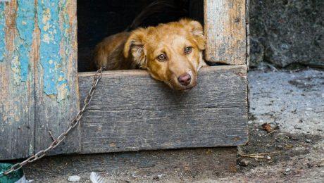 Vlaams Belang wil wat doen aan 'kettinghonden'